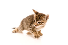 Adorable young cat in woman's hand Royalty Free Stock Images