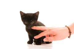 Adorable young cat in woman's hand Stock Image