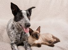 Adorable young dog and cat lying snuggled up on a soft fleece blanket. Looking to the right of the viewer Royalty Free Stock Photo