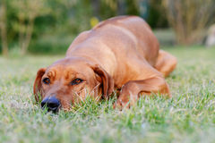 Adorable young dog lazy lying Stock Image