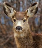 An Adorable Young Fawn Doe Buck Deer Cute Portrait royalty free stock images