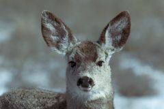 Young female mule deer in winter stock photo
