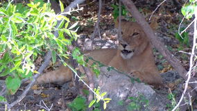 Adorable young lion biting stick playing. Chobe Botswana Africa. stock video