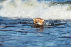 Adorable young swimming in the sea. Adorable young fox posing outdoors in summer Royalty Free Stock Images