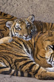 Adorable Young Tiger Resting on Sibling Royalty Free Stock Image