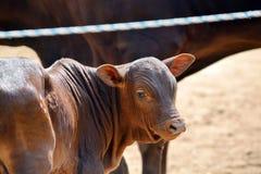 Adorable Zebu Small Baby Cow Stock Photo. Adorable Zebu Small Cute Baby Cow Looking at Stock Photo stock image