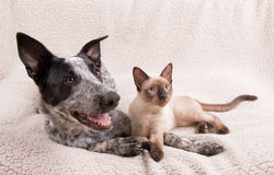 Adorably cute dog and cat together on a soft blanket. Looking to the right of the viewer Stock Images