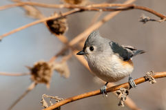 Adorably cute Tufted Titmouse Stock Photo