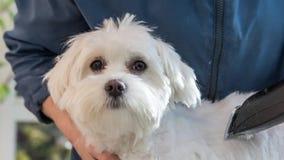 Adorably knipogende leuke witte hond stock video