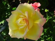 Adorada de Rosa del La Imágenes de archivo libres de regalías