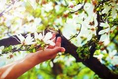 Adorando la magnolia de la primavera florece en un árbol, en luz del sol Flor en mano de la mujer Imagen de archivo
