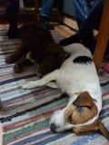 Adoravle puppies sleeping. Cute puppies sleeping Royalty Free Stock Photo