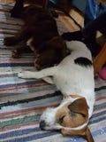 Adoravle puppies sleeping. Cute puppies sleeping Royalty Free Stock Image