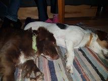 Adoravle szczeniaków spać Zdjęcia Stock