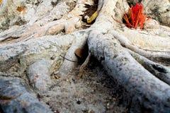 Adore con los palillos del incienso que ofrecen en las raíces del baniano Imagen de archivo