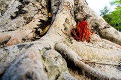 Adore con los palillos del incienso que ofrecen en las raíces del baniano Foto de archivo