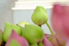 Adore el loto rosado Imágenes de archivo libres de regalías