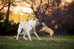 Adoreable nio månader gammal fullblods- fransk bulldogg på parkerar royaltyfria bilder
