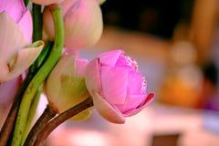 Adorez le lotus rose photos stock