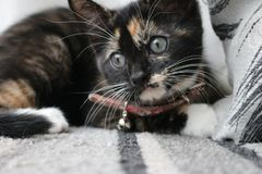 Adoring Cat looking at the camera. Cute kitten staring at the camera. very clear eyes and whiskers Stock Photos