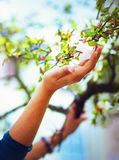Adoring the spring magnolia flowers on a tree, in sun light. Flower in woman hand. Stock Photos