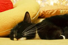Adormecido rápido do gato preto e branco entre coxins amarelos Imagens de Stock Royalty Free