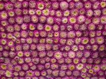Adornado con la flor del amaranto púrpura Fotografía de archivo