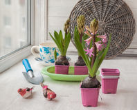 Adornamiento de jacintos de las ventanas en días de fiesta de la primavera Imágenes de archivo libres de regalías