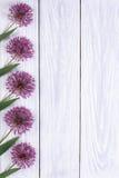 Adornando púrpura del marco florece alium Foto de archivo