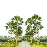 Adorne las palmeras en el parque aislado Imagen de archivo libre de regalías