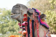 Adorned camel portrait Royalty Free Stock Photos