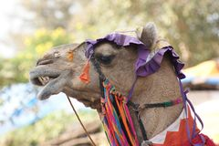 Adorned camel portrait Royalty Free Stock Photography