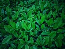 Adornos de la planta o follaje verde claro Fotografía de archivo libre de regalías
