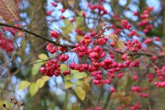 Adornos/Euonymus del otoño Foto de archivo libre de regalías