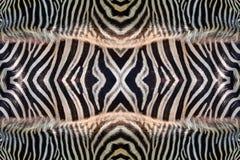 Adornos y modelos de la piel de la cebra Imágenes de archivo libres de regalías