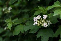 Adoxaceae floreciente de la familia del viburnum Foto de archivo