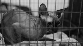 Adozione aspettante salvata sola del gatto nel riparo dell'animale domestico, animali abbandonati stock footage