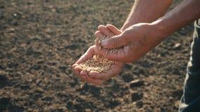 Adra jest w pracowitych rękach rolnik ocenia ilość adra mężczyzna egzamininuje i analizuje zbiory