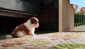 Adrable behandla som ett barn hunden för shihtzuvalpen sitta framme av den hem- dörren Royaltyfria Foton