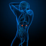 Adrenal Stock Photography