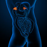 Adrenal Stock Image
