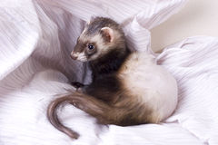 Adrenal Disease Ferret. Dark sable male ferret with dark eyes and spotted nose. Loss of fur due to Adrenal Disease related to poor genes and breeding. There is Stock Photography