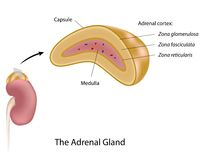 The adrenal gland. Anatomy of human adrenal gland, eps10 Stock Photos