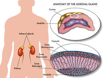 Adrenal gland Royalty Free Stock Image