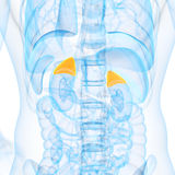 The adrenal glands Stock Images