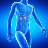 The adrenal glands. Medical illustration of the adrenal glands Royalty Free Stock Images