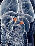 The adrenal glands. Medically accurate illustration of the adrenal glands Stock Photography