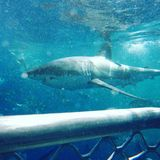 Adrenaline shark. Shark cage adventure ocean Stock Photos