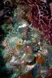 adriatic annimal niebezpieczny rybi ludzki północnego morza kamień podwodny bardzo Obraz Royalty Free