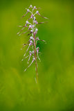 Adriatic Lizard Orchid, Himantoglossum adriaticum, flowering European terrestrial wild orchid in nature habitat. Beautiful detail Royalty Free Stock Images